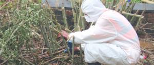 japanese-knotweed-treatment