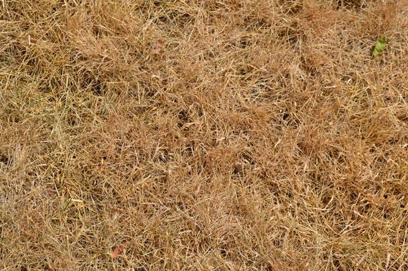 brown-grass